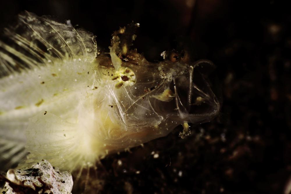ボロカサゴ Rhinopias frondosa