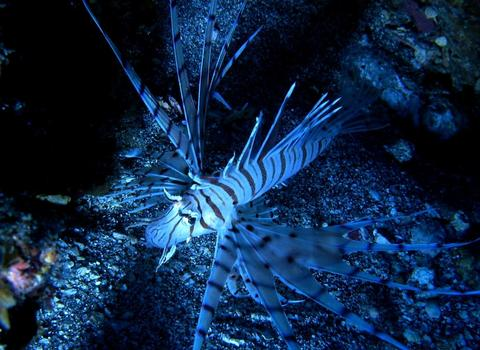 ミノカサゴ Pterois lunulata   Temminck and Schlegel,1844