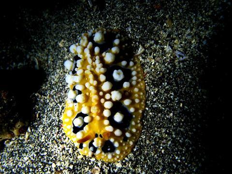 キイロイボウミウシ Phyllidia ocellata