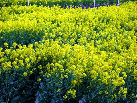 西伊豆井田の菜の花畑