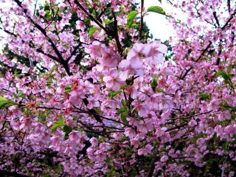 河津桜(かわづさくら)