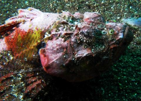 サツマカサゴScorpaenopsis neglecta