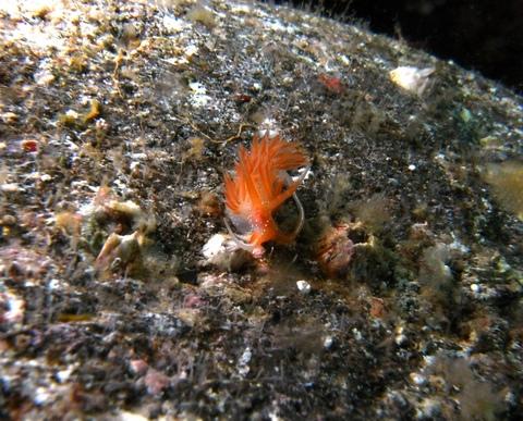 アカエラミノウミウシ(Sakuraeolis enosimensis)SEA&SEA DX-1Gで撮影。
