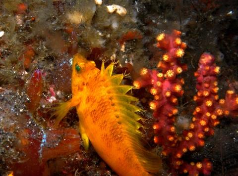 オキゴンベ(Cirrhitichthys aureus) SEA&SEA