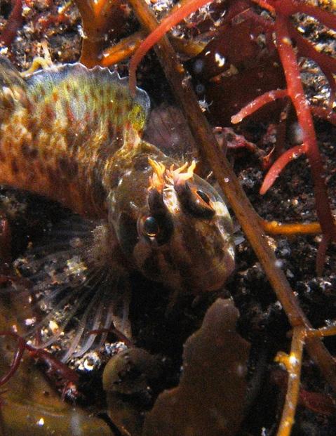 「イソギンポ」Plablennius yatabei  大瀬崎湾内SEA&SEA DX-1Gで撮影。