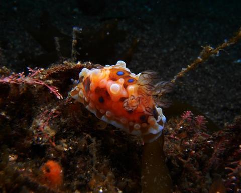 ミヤコウミウシ Dendrodoris denisoni 大瀬崎・外海ダイビング