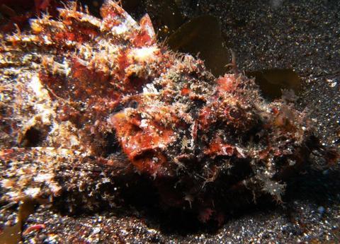 オニカサゴ Scorpaenopsis cirrhosa (Thunberg)