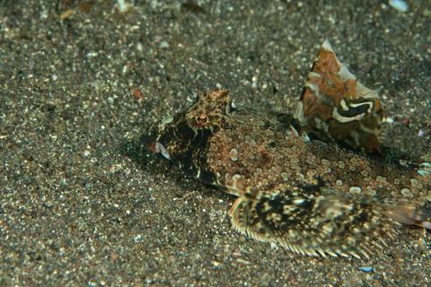 「ネズミゴチ」 Repomucenus richardsoonii