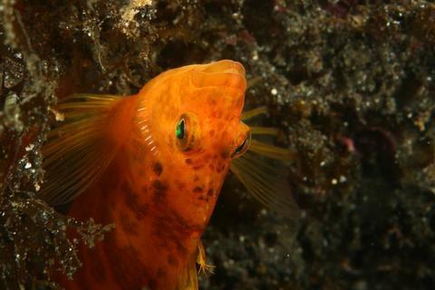 「オキゴンベ」Cirrhitichthys aureus