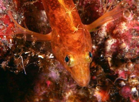 オキゴンベの幼魚