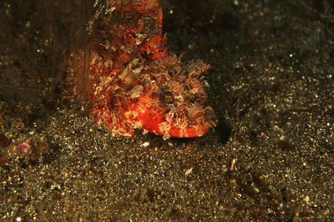 「フサカサゴ」Scorpaena onaria