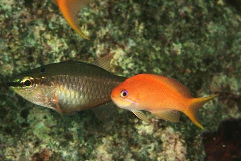 「キンギョハナダイ」Pseudanthias squamipinnis