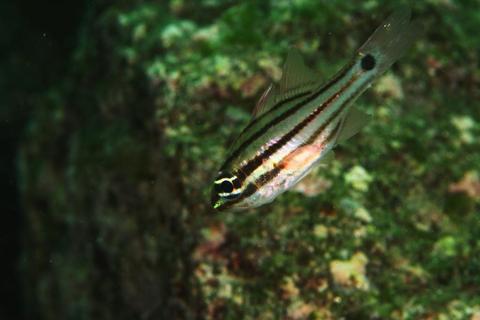 「ネンブツダイ」Apogon semilineatus