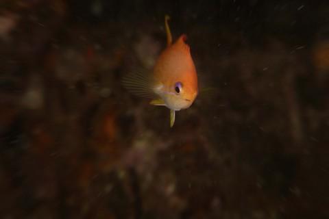 キンギョハナダイ Pseudanthias squamipinnis