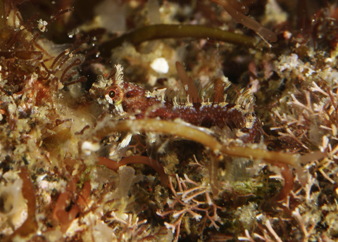 「コケギンポ」Neoclinus bryope