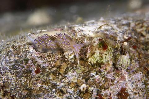 セトミノウミウシSetoeolis inconspicua