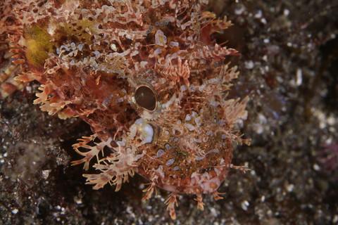 フサカサゴ Scorpaena onaria