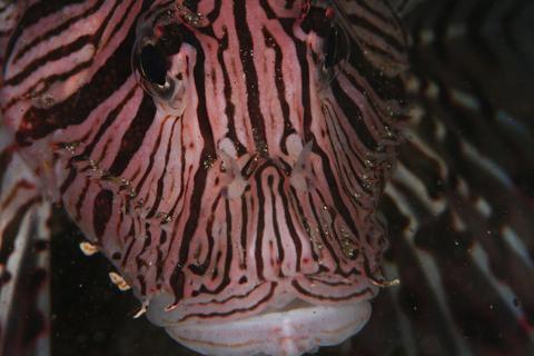 ミノカサゴ Pterois volitans