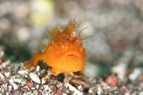 大瀬崎,湾内,ダイビング,カエルアンコウ,Antennarius striatus