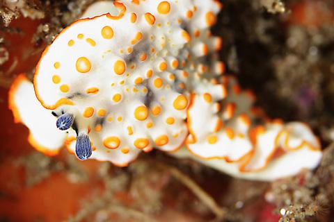 「ハナオトメウミウシ」Dermatobranchus ornatus