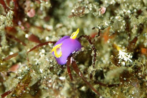 「ムラサキウミコチョウ」Sagaminopteron ornatum
