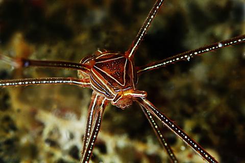 「オルトマンワラエビ」Chirostylus ortmanni