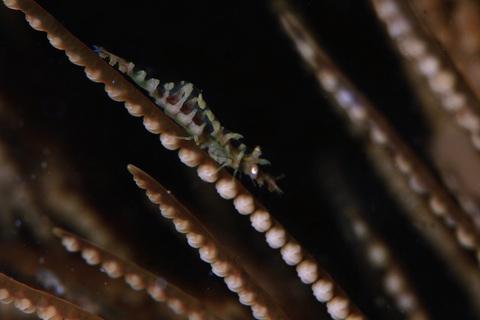 「ウミカラマツエビ」Anachlorocurtis commensalis