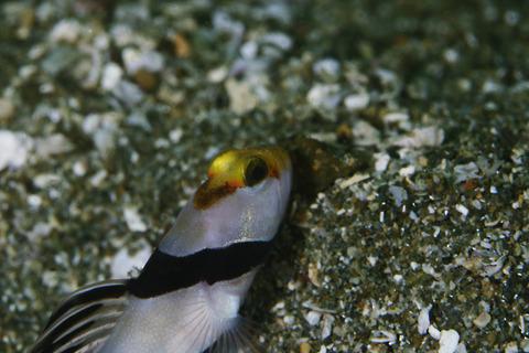 ネジリンボウStonogobiops xanthorhinica