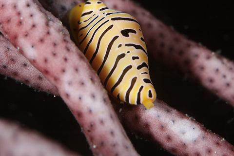トラフケボリ Primovula (Cuspivolva) tigris