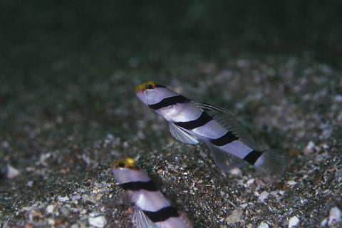 ネジリンボウ Stonogobiops xanthorhinica