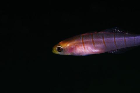 黄金崎で見た何かの幼魚