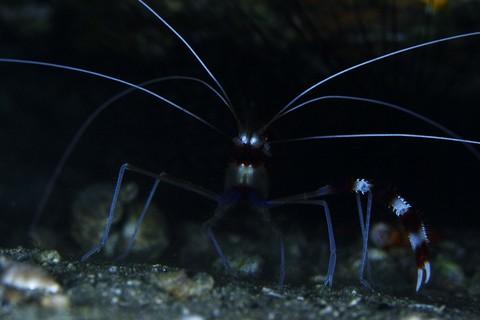 オトヒメエビStenopus hispidus