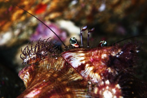 ソメンヤドカリ Dardanus pedunculatus