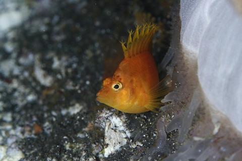 オキゴンベ Cirrhitichthys aureus , Osezaki Diving