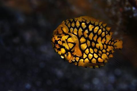マツカサウオ Monocentris japonica 大瀬崎 ダイビング