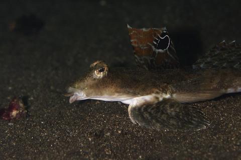 ヨメゴチ Calliurichthys japonicus