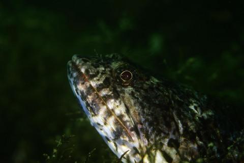マダラエソ Saurida gracilis 大瀬崎 Diving