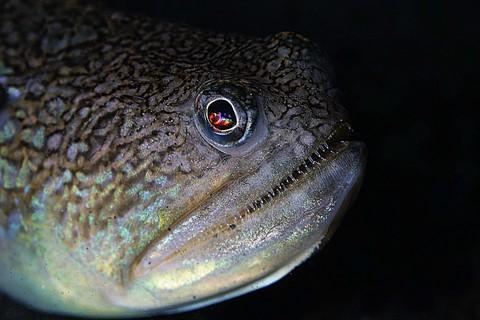 オキエソ Trachinocephalus myops 大瀬崎 湾内