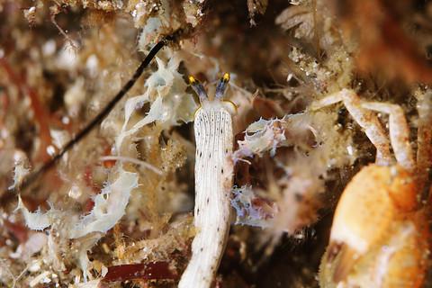 カメキオトメウミウシ Dermatobranchus primus 大瀬崎 大川下