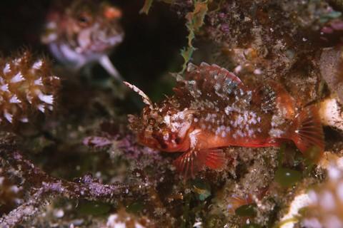 コクチフサカザゴ Scorpaena miostoma 大瀬崎 大川下