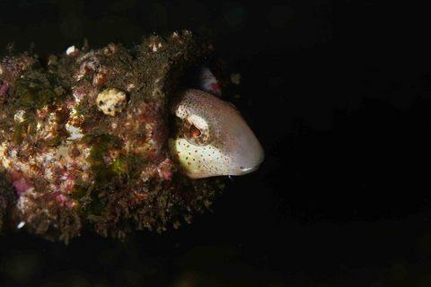 ニジギンポ Petroscirtes breviceps