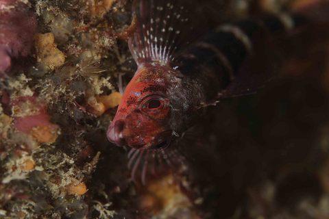 ヘビギンポ Enneapterygius etheostomus