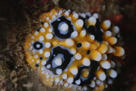 キイロイボウミウシ Phyllidia ocellata 浮島ダイビング