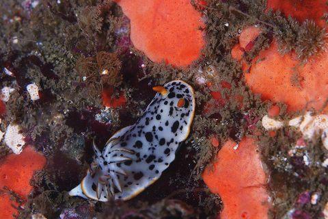 シロウミウシ Chromodoris orientalis 浮島 ダイビング