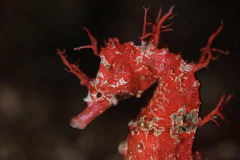 ハナタツ Hippocampus sindonis