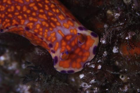 ニシキウミウシ Ceratosoma trilobatum 大瀬崎・大川下
