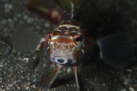 トラギス Parapercis pulchella