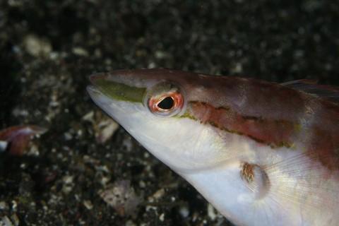 イトベラ Suezichthys gracilis