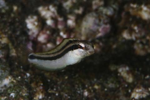ニジギンポの幼魚 Petroscirtes breviceps