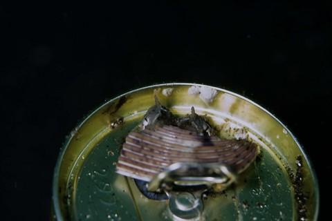スナダコ Octpus kagoshimensis